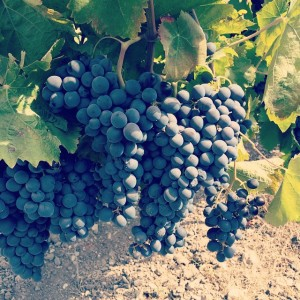Vendemmia 2014 Valle dell'Acate